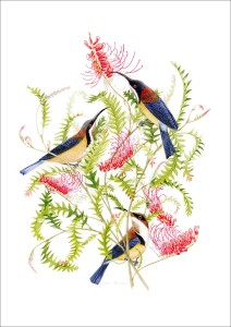 Boongala Spinebill grevillea with eastern spinebill birs Scan