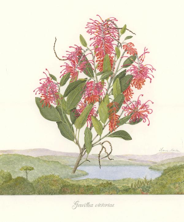 Grevillea victoriae - BA website