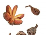 Australian Native Seeds