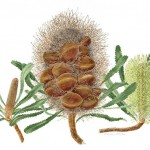 Banksia serrata (full image)
