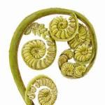 Cyathea cooperi