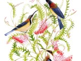Eastern Spinebills on Grevillea