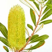 Banksia-integrifolia