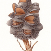 Banksia serrata cone