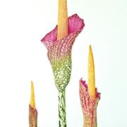 Amorphophallus-decus-silvae-and-A.gigas_