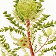 Banksia-baxteri