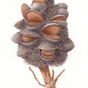 Banksia-serrata-Pine-Cone
