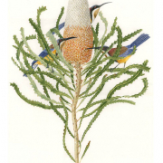 Banksia.prionotes-and-Spinebill-Honeyeaters