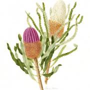 Banksias-menezii-prionotes