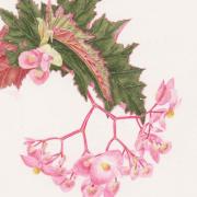 Begonia-sp