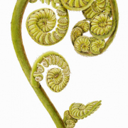 Coopers-Tree-Fern