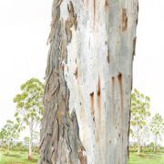 Eucalyptus-viminalisjpg