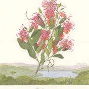 Grevillea-victoriae-sourced-south-west-NSW