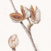 Hakea-seeds