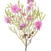 Melaleuca-thymifolia