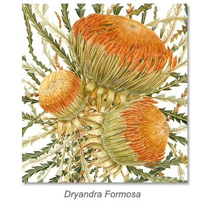 Dyandra Formosa