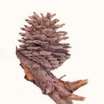 Pinus sp. Pine Cone